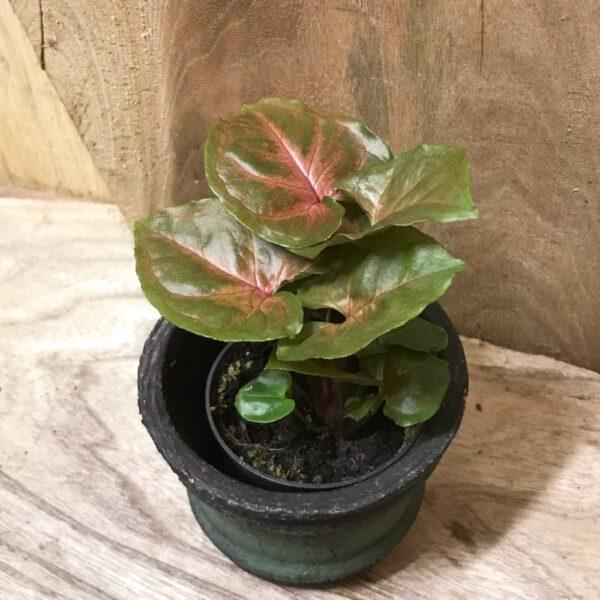 Syngonium podophyllum 'Maria Allusion', ung planta