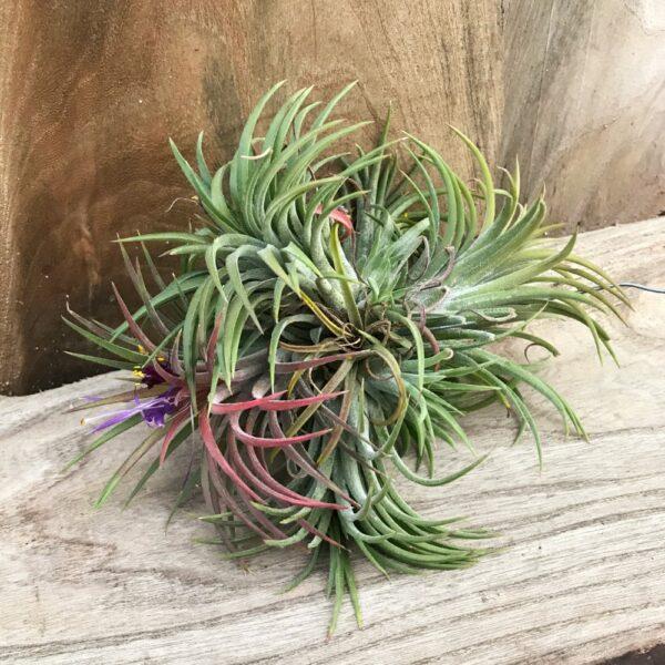 Tillandsia ionantha, grön, boll med flera plantor