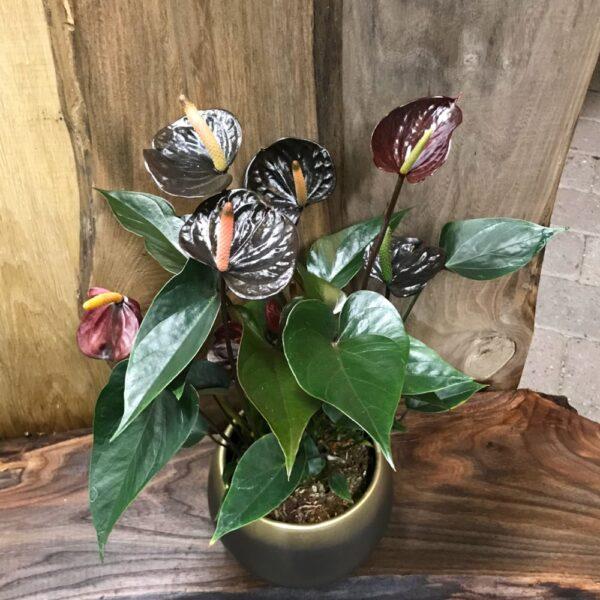 Anthurium Black Love (Flamingoblomma)