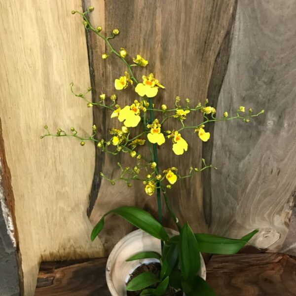 Oncidium Münsterland