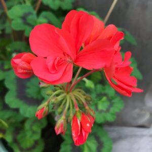 Pelargon Alexander J. Hagemo, blomma