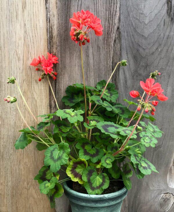 Pelargon Alexander J. Hagemo, blommande planta