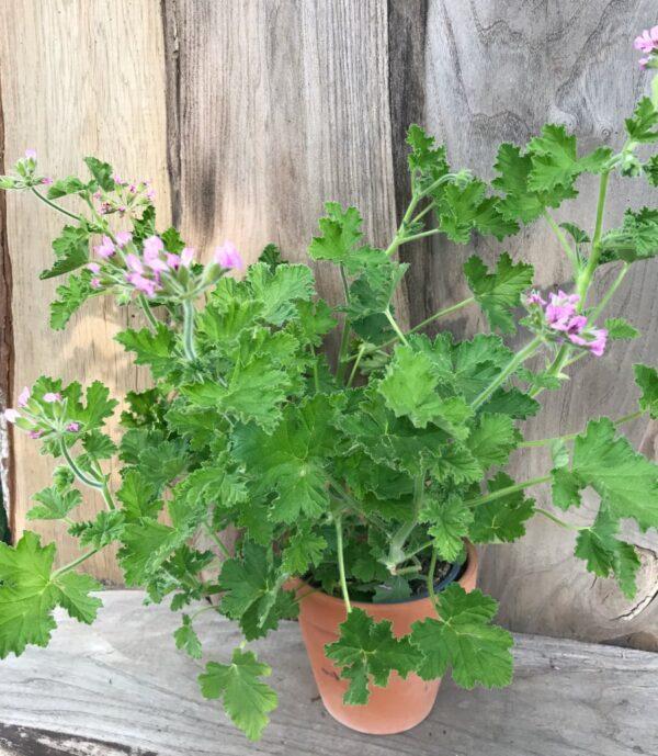 Pelargon Attar of Roses, planta i lerkruka