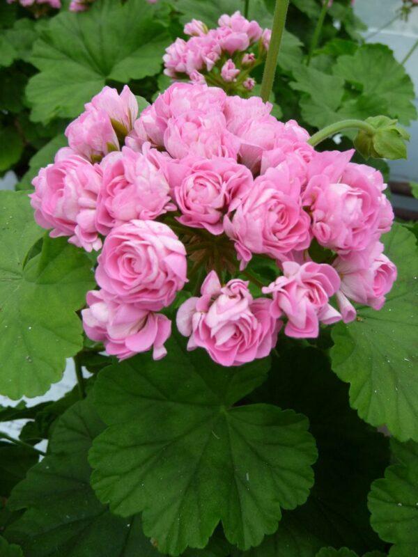 Pelargon Australian Pink Rambler, blomma