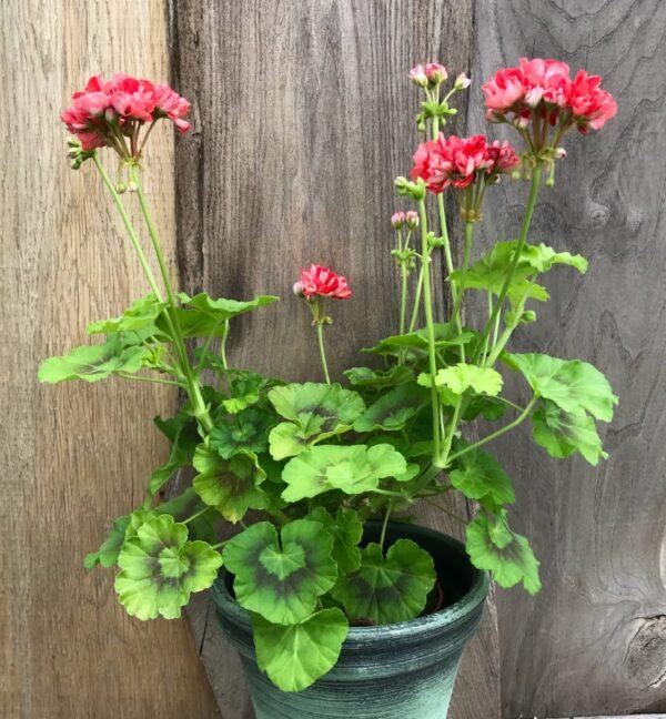 Pelargon Brightstone, blommande planta