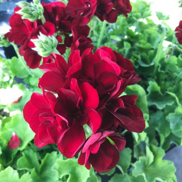 Pelargon Calliope Extra Dark Red