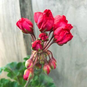 Pelargon Carmen Andrea, blomma