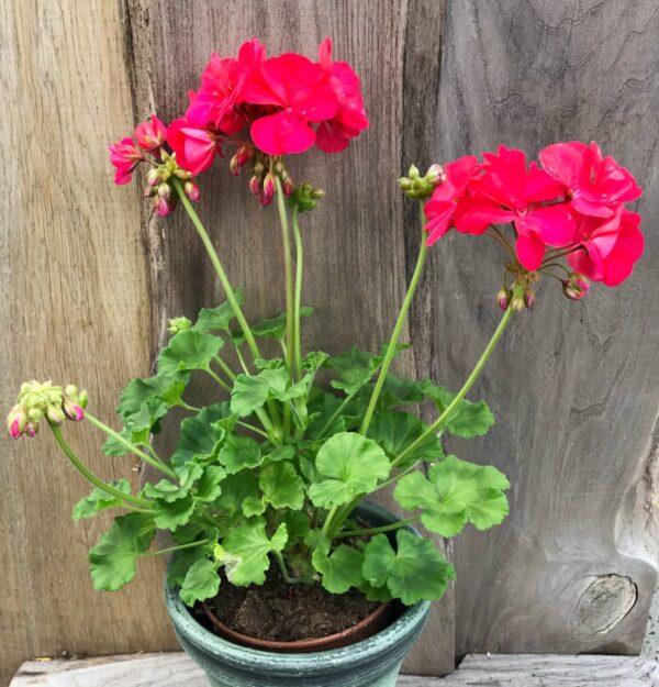 Pelargon Elsas Konditori, blommande planta