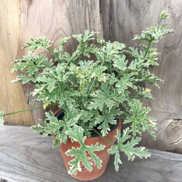 Pelargon Grey Lady Plymouth, stor nog att blomma
