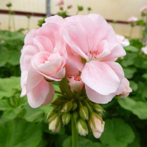 Pelargon Mårbacka, blomma