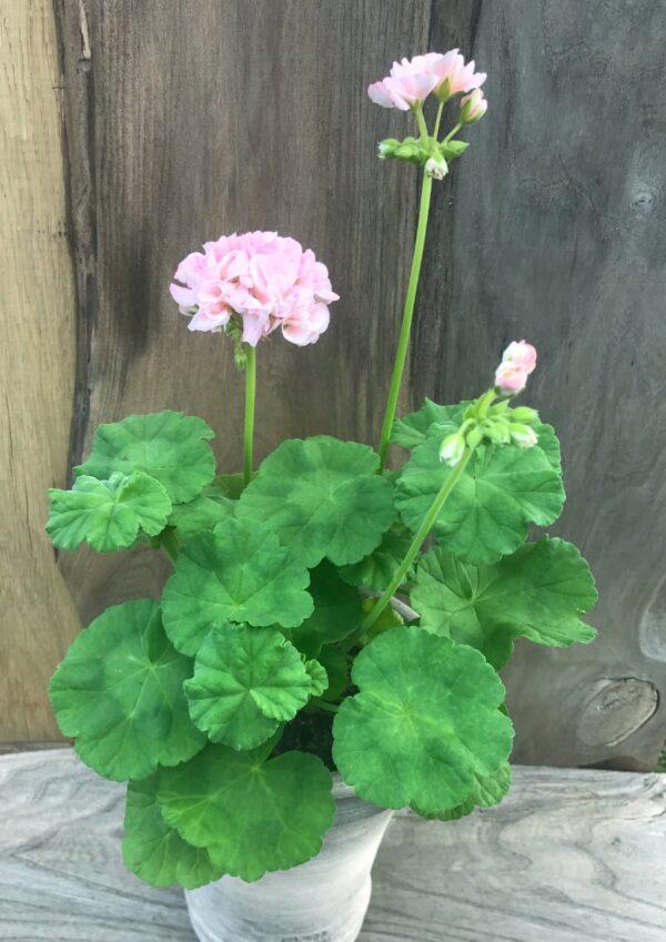 Pelargon Mårbacka 'Drottning Ingrid', planta med blomstänglar