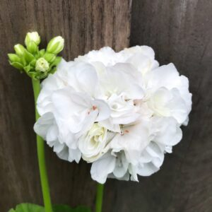 Pelargon Marbacka, vit, blomma