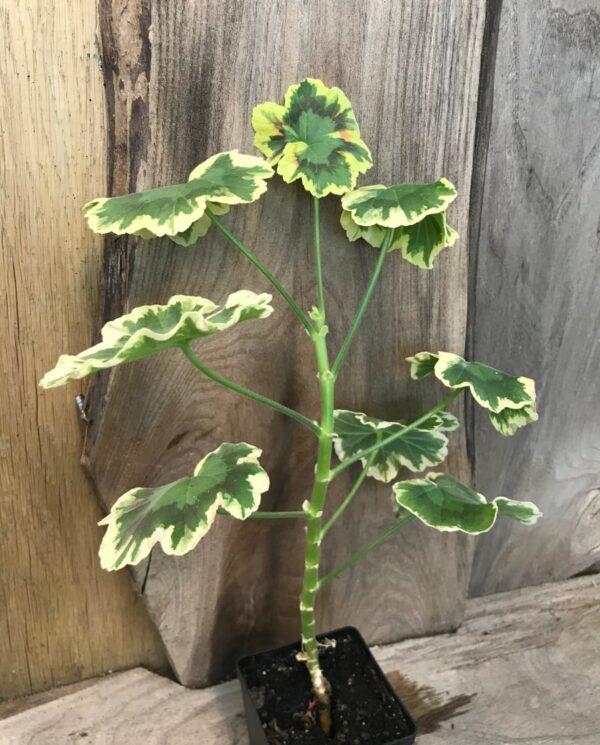 Pelargon Mrs Pollock, planta