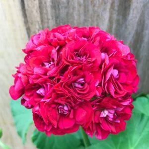 Pelargon Plum Rambler, blomma