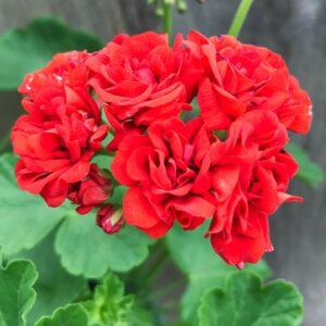 Pelargon Red Rosebud, blomma