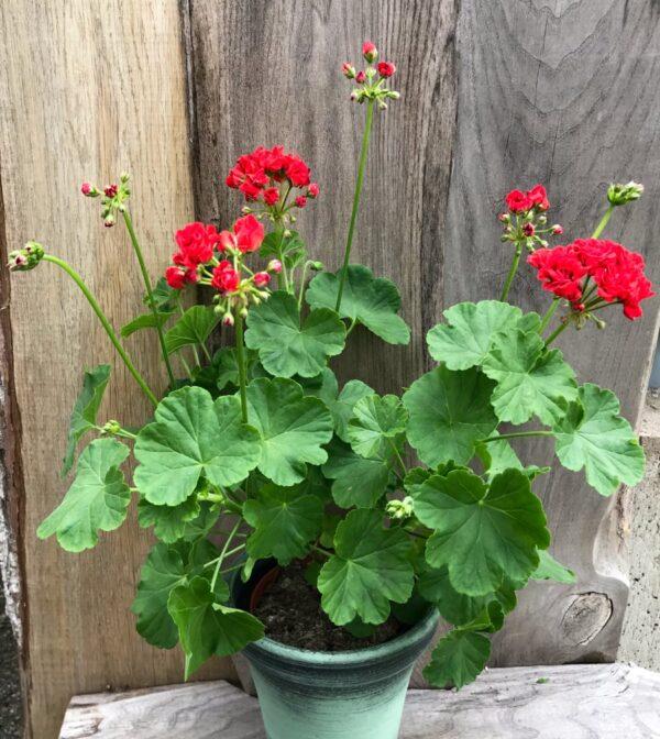 Pelargon Red Rosebud, blommande planta