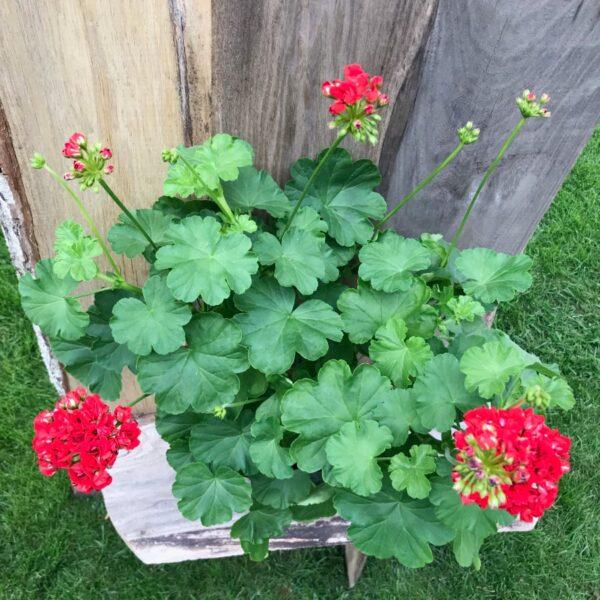 Pelargon Red Rosebud, samlingsexemplar
