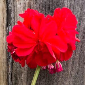 Pelargon Röd Herrgårdspelargon, blomma