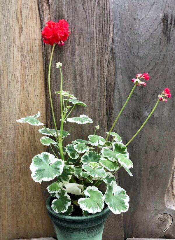 Pelargon Röd Herrgårdspelargon, blommande planta