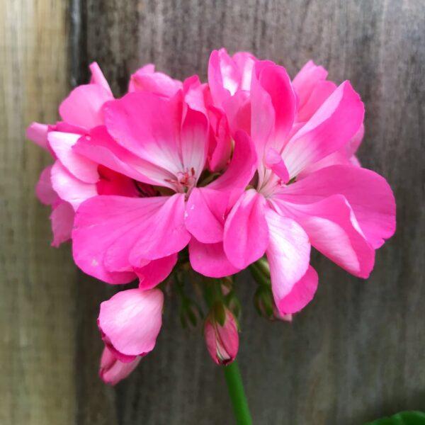 Pelargon Shirley Anne, blomma