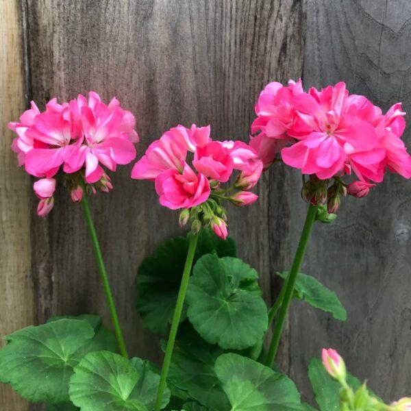 Pelargon Shirley Anne, blommor