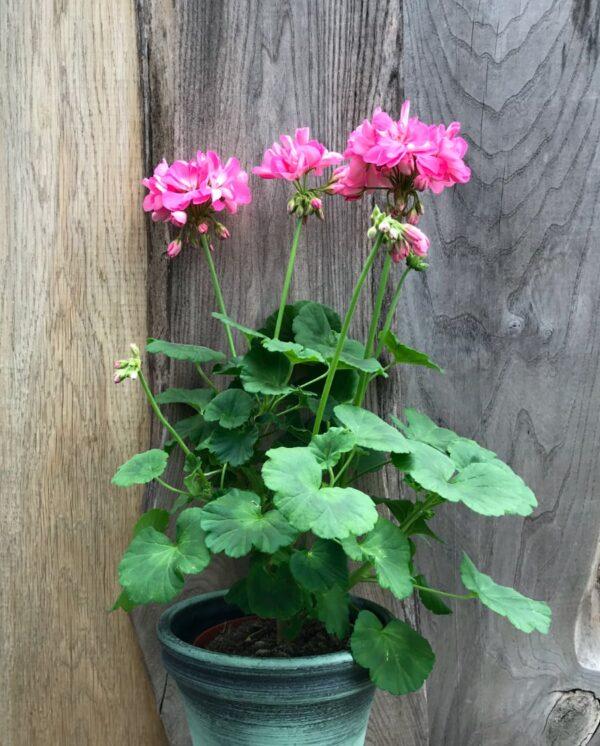 Pelargon Shirley Anne, i blom