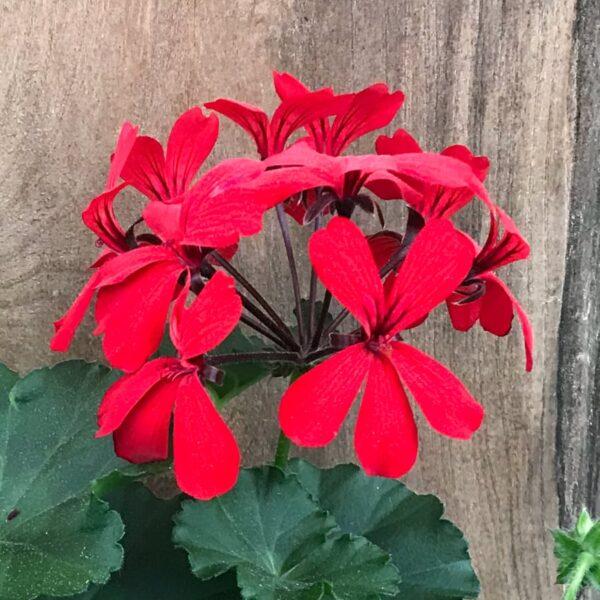 Pelargon Super Cascade Red, blomma