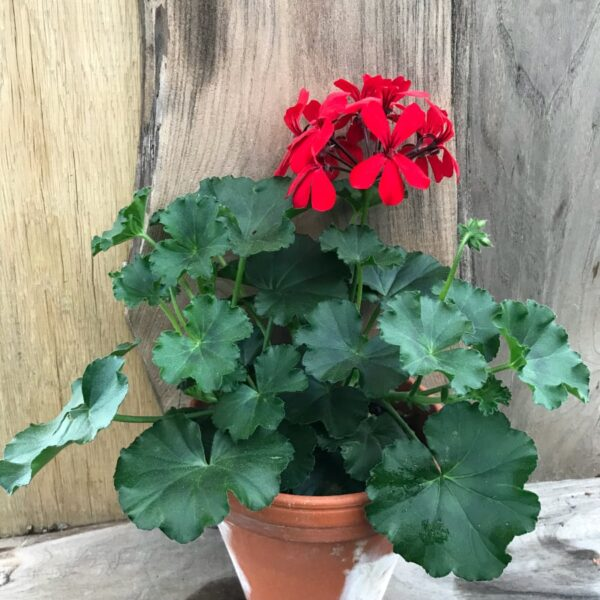 Pelargon Super Cascade Red, planta