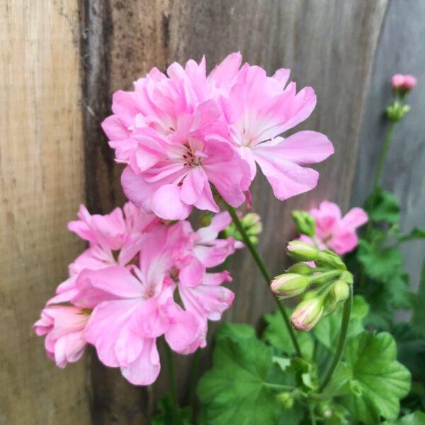Pelargon Torsång, blommor