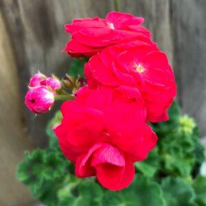 Pelargon Viva Rosita, blomma