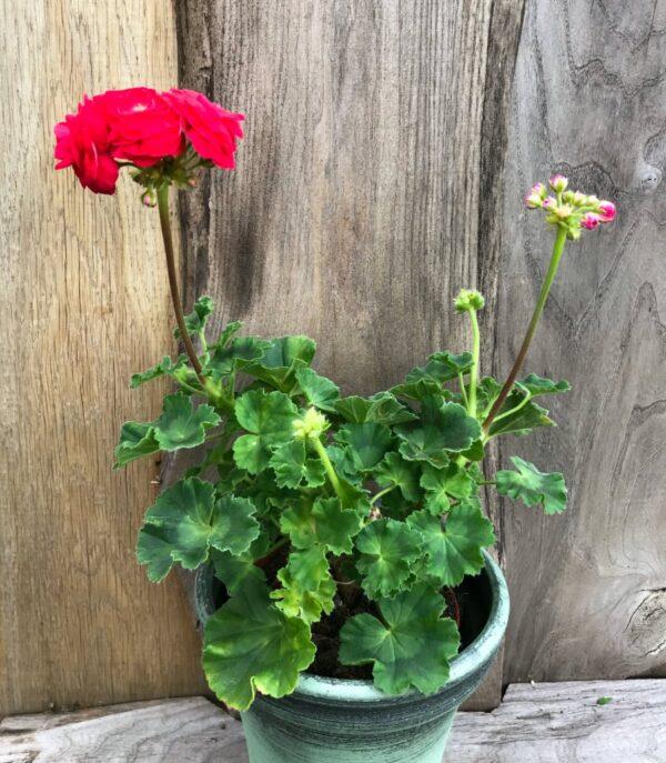 Pelargon Viva Rosita, planta med blommor