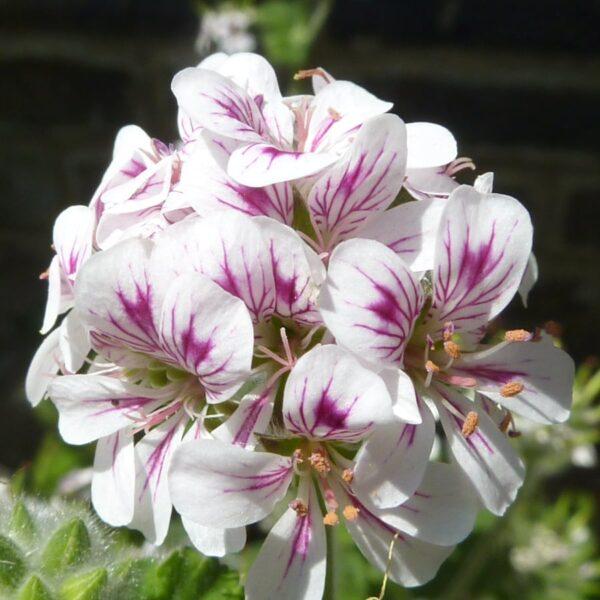 Pelargonium australe, blomma