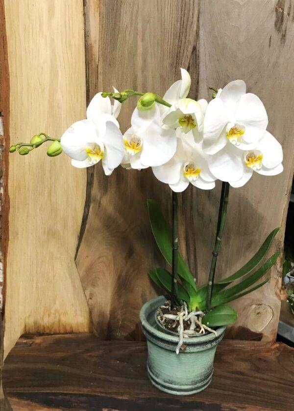 Phalaenopsis Maestro Whiteboarden Chopin