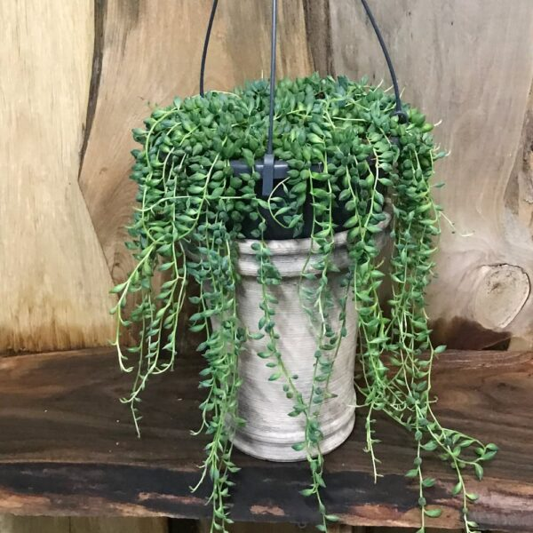 Senecio rowleyanus med avlånga blad