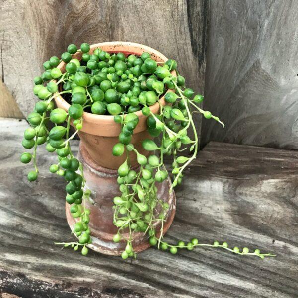 Senecio rowleyanus, ung planta