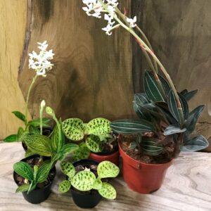Orkidéer med vackra blad