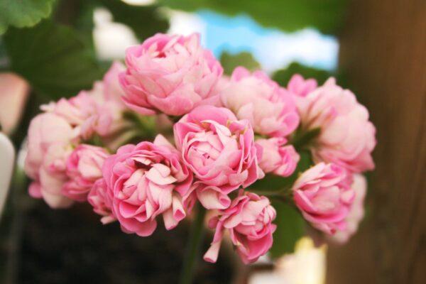 Pelargon Australian Pink Rambler, aka Prinsessan Filippa