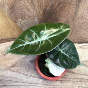 Alocasia baginda, ung planta