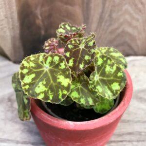 Begonia bowerae, ung planta