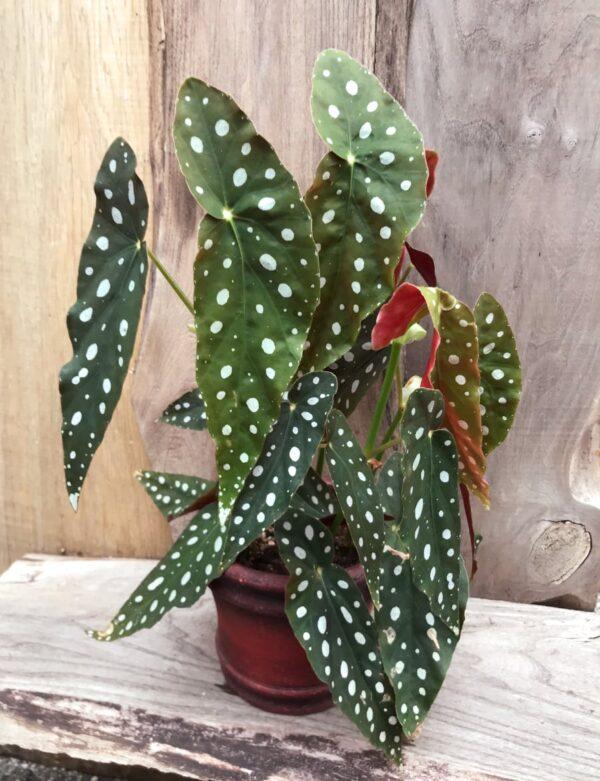 Begonia maculata, vuxen planta