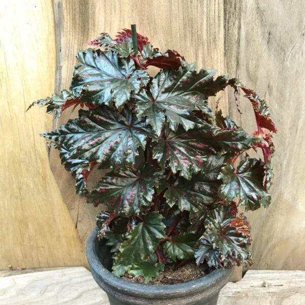 Begonia serratipetala, vuxen planta