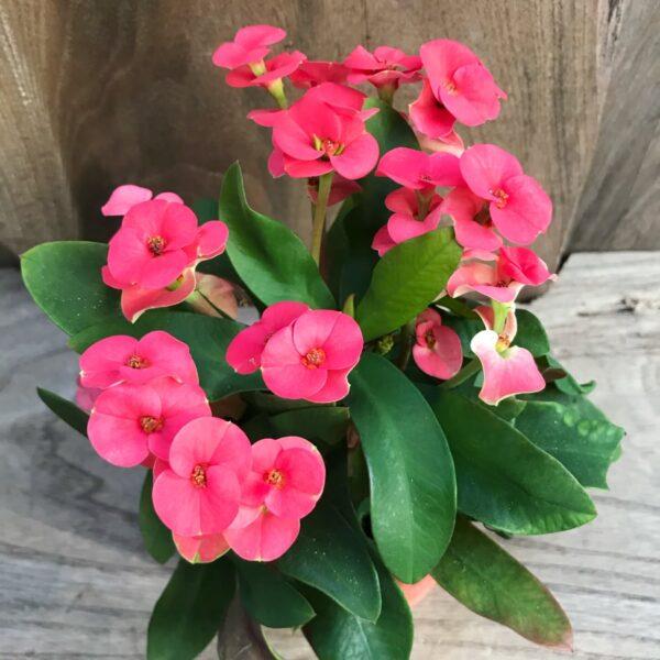 Euphorbia milii, röd ung blommande planta