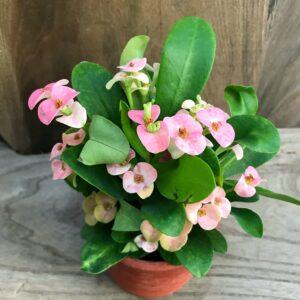 Euphorbia milii, rosa ung blommande planta