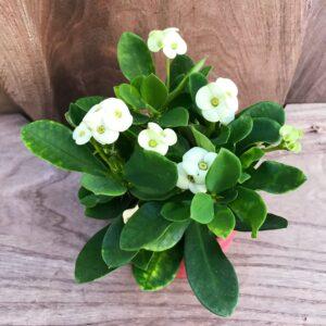 Euphorbia milii, vit ung blommande planta