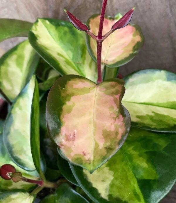 Hoya carnosa, tricolor, blad