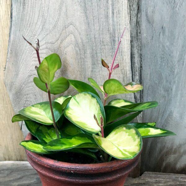 Hoya carnosa, tricolor, större ung planta