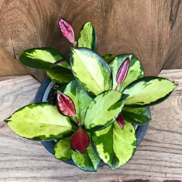 Hoya carnosa, tricolor, vuxen planta