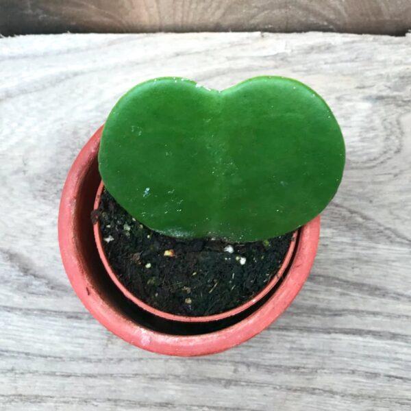 Hoya kerrii, 1 blad