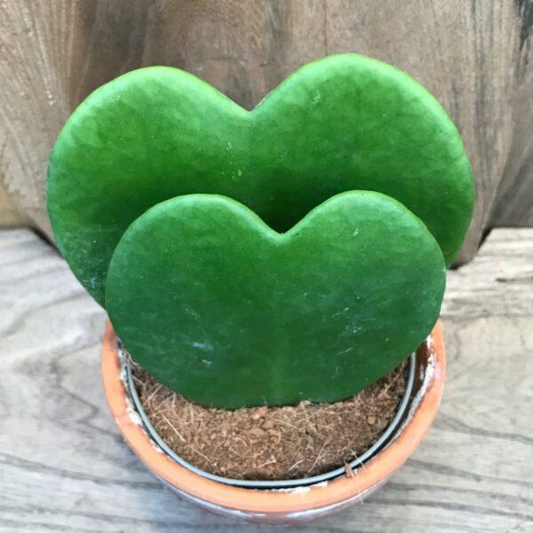 Hoya kerrii, sticklingar
