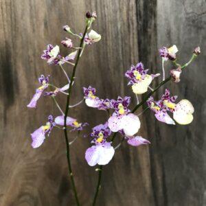 Ionocidium Popcorn-blommor